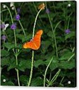 Dryas Iulia  Butterfly Acrylic Print
