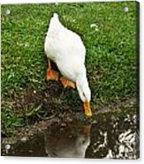 Duck And Refection Acrylic Print
