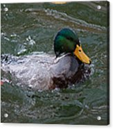 Duck Bathing Series 1 Acrylic Print