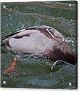 Duck Bathing Series 2 Acrylic Print by Craig Hosterman