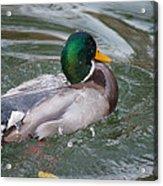 Duck Bathing Series 5 Acrylic Print