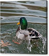 Duck Bathing Series 6 Acrylic Print by Craig Hosterman