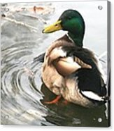 Duck Beauty Acrylic Print