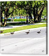 Duck Crossing Acrylic Print