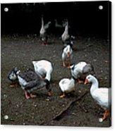 Duck Duck Goose Acrylic Print