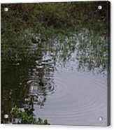 Duck In A Pond Acrylic Print