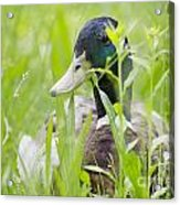 Duck In The Green Grass Acrylic Print