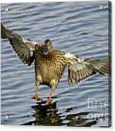 Duck Landing Acrylic Print