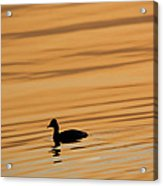 Duck On Golden Water Acrylic Print