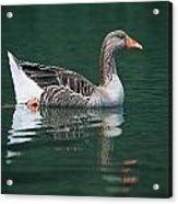 Duck On Water Acrylic Print