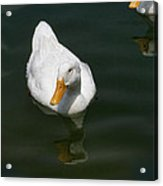 Duck Out - Stop Peking On Me Acrylic Print