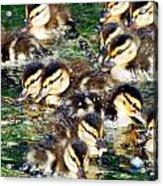 Duck-pile Acrylic Print