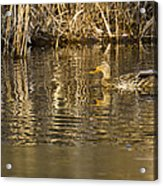 Duck Ripples Acrylic Print