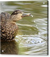 Duck Spits Acrylic Print