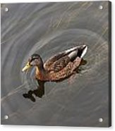Duck Swimming In Clear Water St Acrylic Print