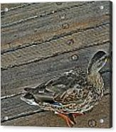 Ducking Acrylic Print