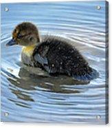 Duckling Pool Acrylic Print