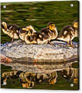 Ducklings Catch Some Rays Acrylic Print