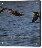 Ducks In Flight 1 Acrylic Print