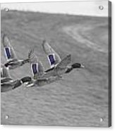 Ducks In Flight V1 Acrylic Print