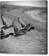 Ducks In Flight V2 Bw Acrylic Print