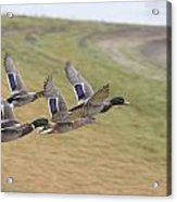 Ducks In Flight V3 Acrylic Print