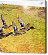 Ducks In Flight V4 Acrylic Print