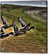 Ducks In Flight V5  Acrylic Print