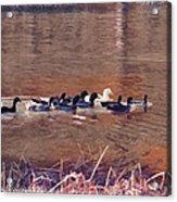 Ducks On Canvas Acrylic Print