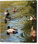 Ducks On The Water Acrylic Print
