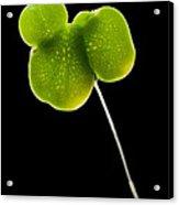 Duckweed Lemna Minor Acrylic Print