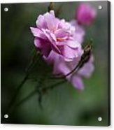 Dusk Light Roses Acrylic Print