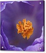 Dutch Crocus Crocus Vernus Flower Acrylic Print