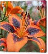 Dutch Lily Acrylic Print