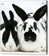 Dutch Rabbits Acrylic Print