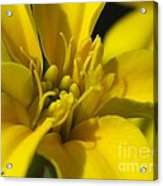Dwarf French Marigold In Disco Yellow Acrylic Print