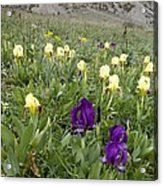 Dwarf Iris (iris Pseudopumila) Acrylic Print
