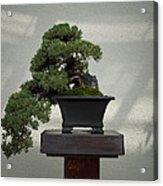 Dwarf Japanese Garden Juniper Acrylic Print