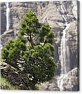 Dwarf Mountain Pine (pinus Uncinata) Acrylic Print