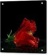 Dying Rose Acrylic Print