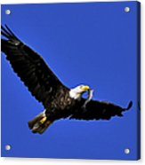 Eagle Fish In Mouth Acrylic Print