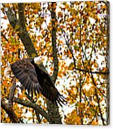 Eagle In Autumn Acrylic Print