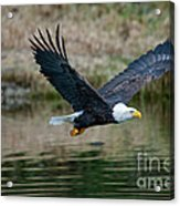 Eagle In Flight Acrylic Print