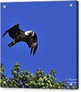Eagle Over The Tree Top Acrylic Print