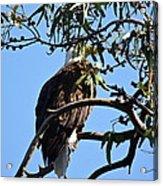 Eagle Under Cover Acrylic Print