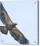 Eaglet 2012 Acrylic Print