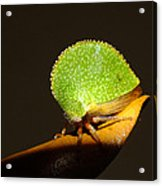 Eared Treehopper Acrylic Print