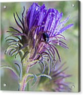 Early Knapweed Acrylic Print