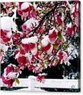 Early Magnolia Late Snow Acrylic Print