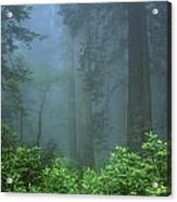 Early Morning In The Forest, Humboldt Acrylic Print